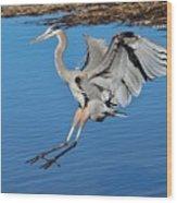 Great Blue Heron Landing In The Marsh Wood Print
