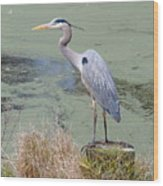 Great Blue Heron Near Pond Wood Print