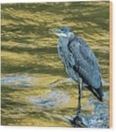 Great Blue Heron On A Golden River Vertical Wood Print