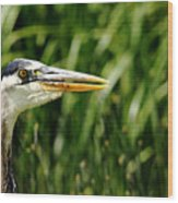 Great Blue Heron Portrait Wood Print