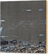 Great Blue Heron Wading 1 Wood Print