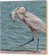 Great Blue Heron Walking With Fish #4 Wood Print