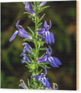 Great Blue Lobelia Wood Print
