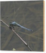Great Blue Skimmer Dragonfly Wood Print