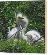 Great Egret Chicks 1 Wood Print