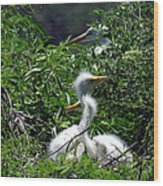 Great Egret Chicks 2 Wood Print