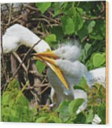 Great Egret Chicks And Mom Wood Print