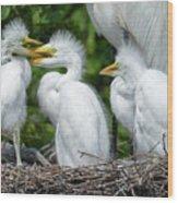 Great Egret Chicks Wood Print