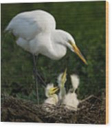 Great Egret With Chicks Wood Print