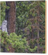 Great Gray Owl Perched Wood Print