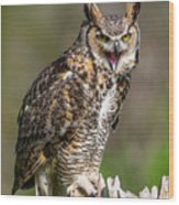 Great Horned Owl Screeching Wood Print