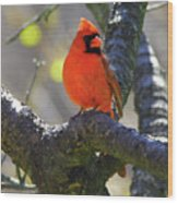 Great  Perch Male Northern Cardinal Wood Print