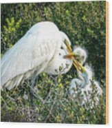 Great White Egret Family Wood Print