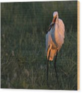 Great White Egret With Armored Catfish Wood Print