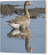 Great White Fronted Goose Wood Print