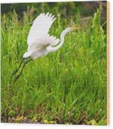 Great White Heron Takeoff Wood Print