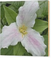 Great White Trillium Wood Print