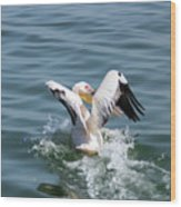 Great White Pelican In Flight Wood Print