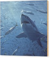 Great White Shark Carcharodon Wood Print by Mike Parry
