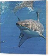 Great White Shark Wood Print