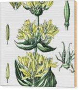 great yellow gentian, Gentiana lutea Wood Print