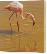 Greater Flamingo In The Water At Galapagos Islands Wood Print