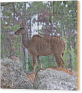 Greater Kudu Female - Rdw002756 Wood Print