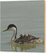 Grebe With Two Chicks On Its Back Wood Print