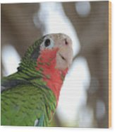 Green And Red Conure With Ruffled Feathers Wood Print