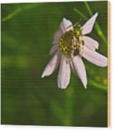 Green Bee Searches For Pollen Wood Print