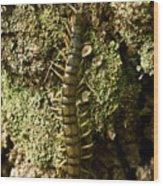 Green Centipede Wood Print