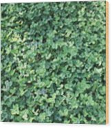 Green Clovers Wood Print