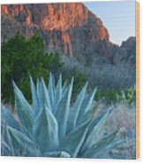 Green Gulch Agave Wood Print by Eric Foltz