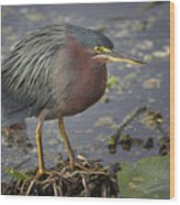 Green Heron 52 Wood Print
