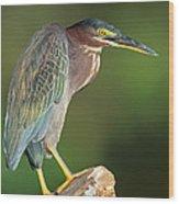 Green Heron Butorides Virescens Wood Print