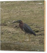Green Heron In Central Texas Wood Print