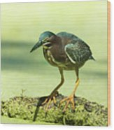 Green Heron In Green Algae Wood Print