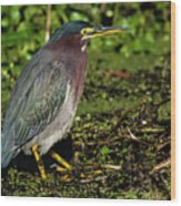 Green Heron In Swampy Water Wood Print