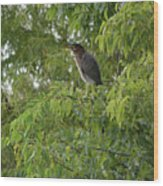 Green Heron In Tree Wood Print