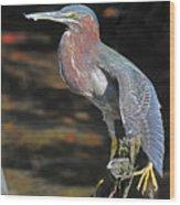 Green Heron Sretching Wing Wood Print