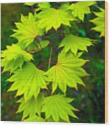 Green Maple  Wood Print