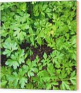 Green Parsley 2 Wood Print