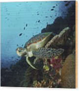 Green Sea Turtle Resting On A Plate Wood Print