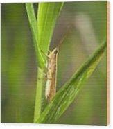 Green Slantfaced Grasshopper Wood Print