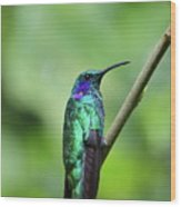 Green Violet Ear Hummingbird Wood Print
