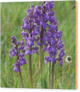 Green-winged Orchids Wood Print