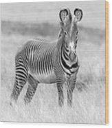Grevy Zebra  5953bw Wood Print