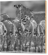 Grevy Zebra Party  7528bwc Wood Print