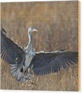 Grey Heron Landing Wood Print