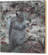 Grey Squirrel Wood Print